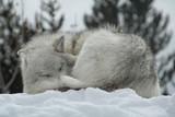 schlafender Wolf