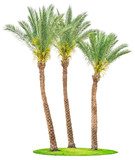 Date palm trees on green grass isolated - 261695904