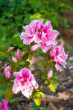 Pink and white flowers on an azalea bush growing in the shade in north east Italy