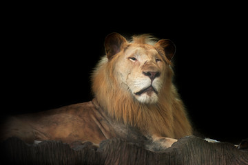 Portrait of a Beautiful lion on black background.