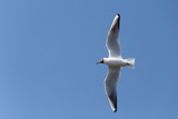 close up of black-headed gull flying in a blue sky