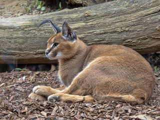 Caracal, Caracal caracal, can jump to a great height