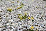 yellow poppy of mountains - natural park Tre Cime di Lavaredo, Dolomites, Alps, Italy