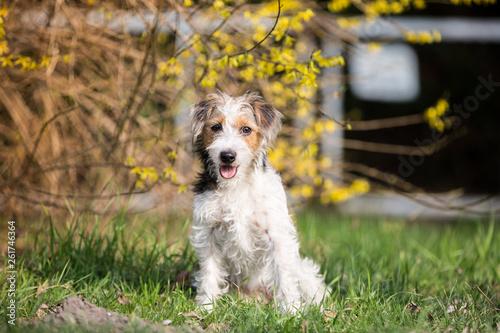 Terrierhündin in Frühling