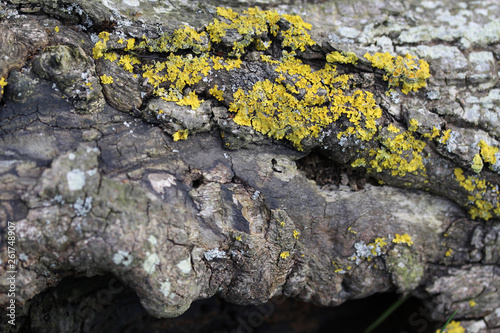 canvas print picture Rotten bark on a log with lichen growing