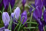 purple crocuses in spring garden close up