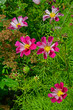 Close up of Cosmos 'Sea Shells' in a flower border - 261761591