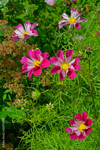 Close up of Cosmos 'Sea Shells' in a flower border