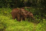 baby elephant in the wild of sri lanka