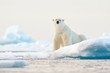 Quadro Polar bear on drift ice edge with snow and water in Norway sea. White animal in the nature habitat, Svalbard, Europe. Wildlife scene from nature.