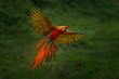 Red hybrid parrot in forest. Macaw parrot flying in dark green vegetation. Rare form Ara macao x Ara ambigua, in tropical forest, Costa Rica. Wildlife scene from tropical nature. Bird in fly, jungle. - 261779361