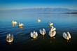 canvas print picture - Dalmatian pelicans, Pelecanus crispus, in Lake Kerkini, Greece. Pelicans on blue water surface. Wildlife scene from Europe nature. Bird mountain background. Birds with long orange bills.
