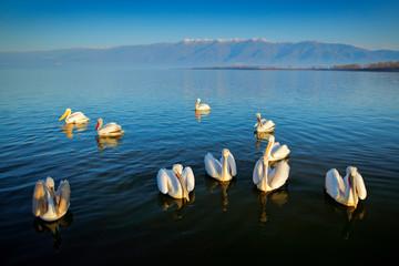 Dalmatian pelicans, Pelecanus crispus, in Lake Kerkini, Greece. Pelicans on blue water surface. Wildlife scene from Europe nature. Bird mountain background. Birds with long orange bills.