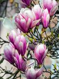 magnolia, type species magnolia virginiana