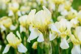 Iris flower blooming