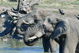 close up of elephants in waterhole,Kruger national park in South Africa