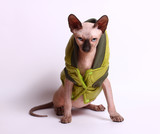 Sphinx kitten in green jacket on white. Sphinx kitten looks as the demon.