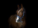 portrait of trakehner stallion horse on black background