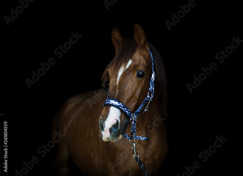 portrait of trakehner stallion horse on black background