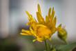 canvas print picture - Gelbe Blüte im Garten Korbblüher