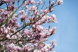 Nahaufnahme Magnolienbaum mit blauem Himmel