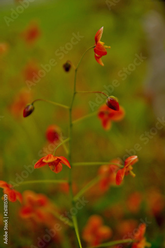 close up of epimedium x warleyense 'orange queen'  - 261815109
