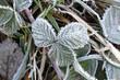 canvas print picture - Brombeerblatt mit Raureif, Rubus sectio