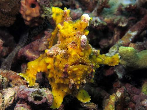 Underwater world - Warty frogfish - Antennarius maculatus. Bali, Tulamben, Indonesia.