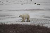 Polar Bear walking in the Wild