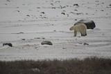 Polar Bear on Icer