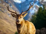 Red Deer Stag, Glen Etive, Scotland.