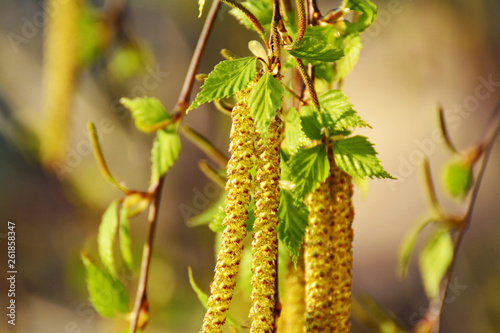 Branch of birch tree Betula pendula, with male and female catkins and green leaves. - 261858347