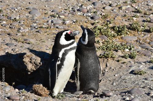 Fototapeten Pinguine Pinguino