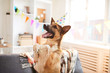 Portrit of happy shepherd dog dancing during Birthday party, copy space