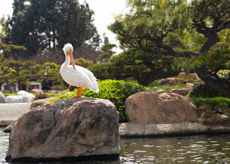 White Pelican is on the big stone in the Japanese garden