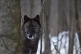 British Columbian Wolf in the woods