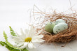 Leinwandbild Motiv Painted robin eggs in straw nest with white daisy on bright background. High key. Copy space. AC