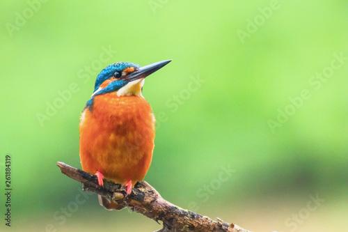Leinwandbild Motiv Common Kingfisher (Alcedo atthis) Eurasian Kingfisher Bird sitting on a Branch