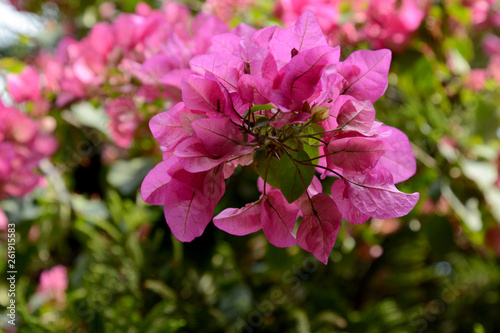 The bougainvillea flowers - 261915583