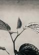 canvas print picture - Wild betel leaf bush or Piper sarmentosum