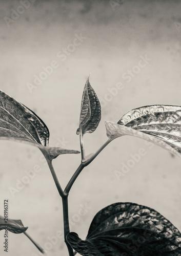 canvas print picture Wild betel leaf bush or Piper sarmentosum