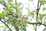 Apple tree branch with pink tender closed buds on a branch in close-up and with soft focus blur