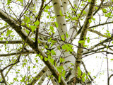 birch branches with young leaves and earrings in spring