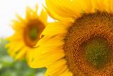 viele schöne Sonnenblumen auf einem Feld