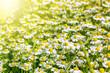 canvas print picture - Blumenwiese im Frühling mit vielen Gänseblümchen