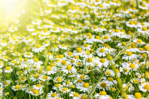 canvas print picture Blumenwiese im Frühling mit vielen Gänseblümchen