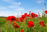 ein Feld mit vielen schönen Mohnblumen, Detailaufnahme