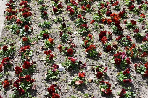 Flores de color rojo con tierra. © Gabrieuskal