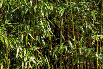 Bambus Strauch © sweasy