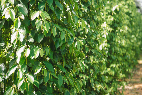 Pepper field at Phu Quoc, Viet Nam, group of pepper plant in green, this farm product is export product from Vietnam to Asia, vegetable growing in bush, and plant in many aea as Binh Phuoc, Daklak - 261972398